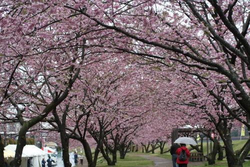 桜並木417の4