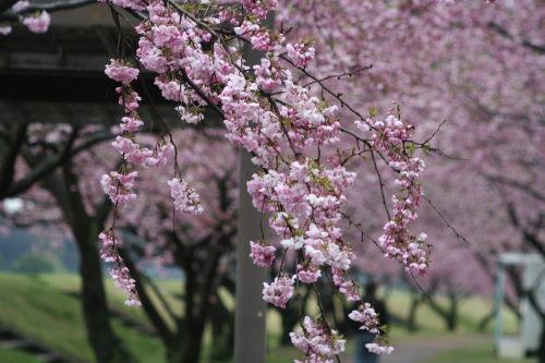 桜並木417の3
