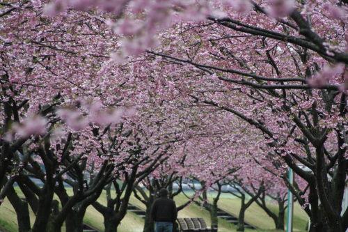 桜並木417の2