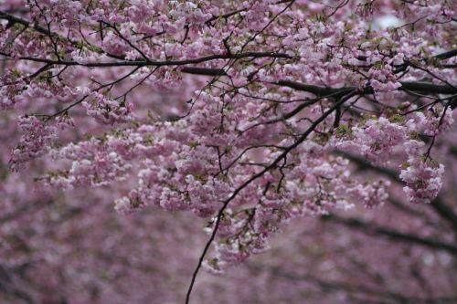 桜並木417