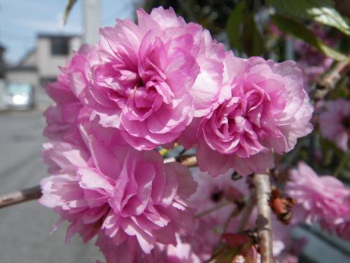 八重桜421