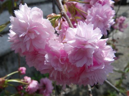 八重桜421の1