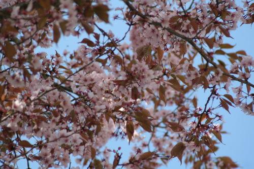 山桜424の9