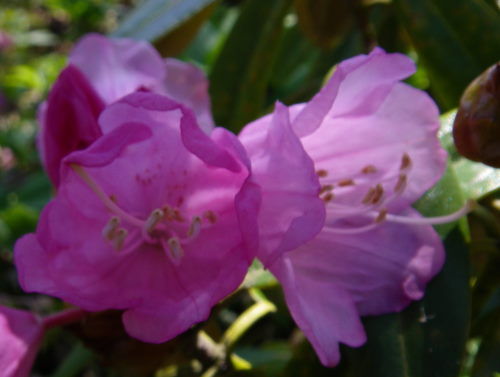 石楠花425