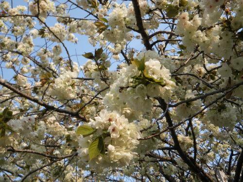 うこん桜426の9