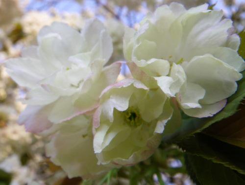 うこん桜426の1