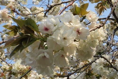 うこん桜426