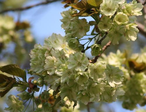 うこん桜426の5