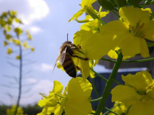 ミツバチ430