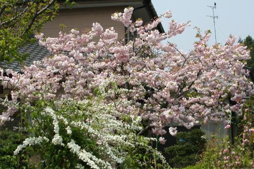 借景の桜54