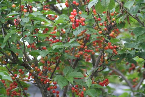 暖地桜桃523