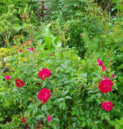 薔薇528の2