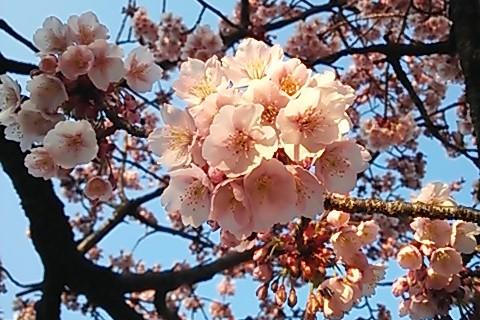 寒緋桜見頃
