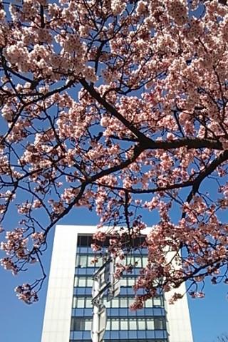 寒緋桜満開