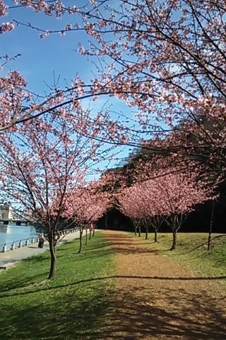 蜂須賀桜②