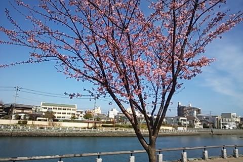 蜂須賀桜①