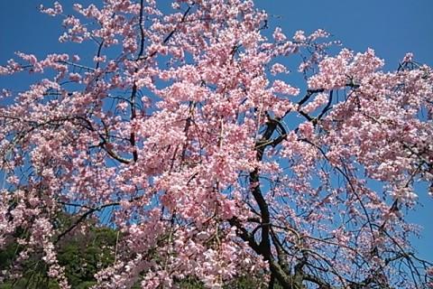 徳島中央公園しだれ桜