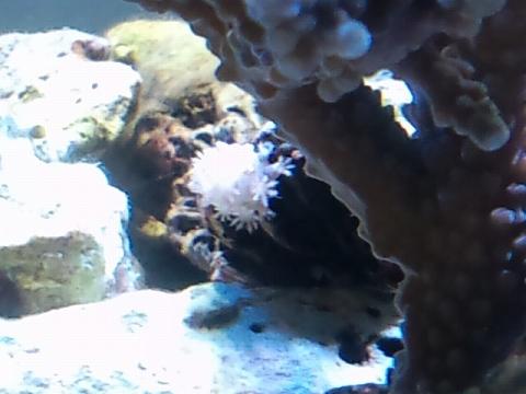 アワサンゴ?20120212