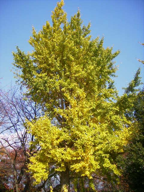 いちょうの黄葉06