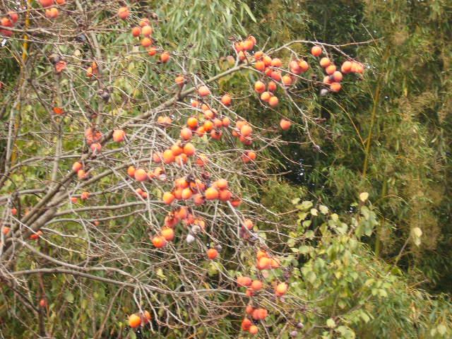 豆柿の実83