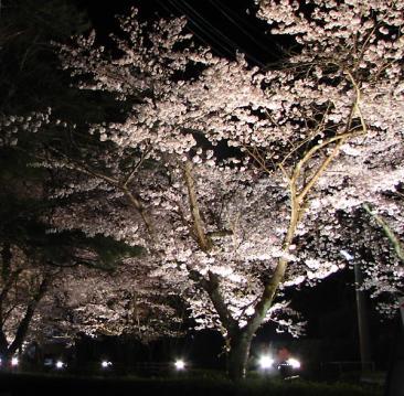 長瀞桜ライトアップ