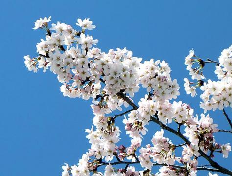 長瀞宝登山の桜