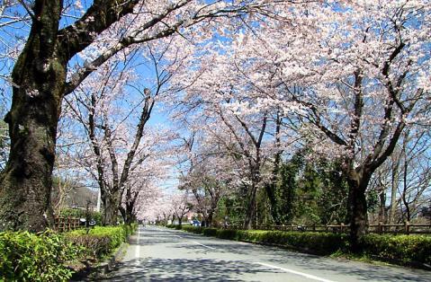 長瀞の桜トンネル