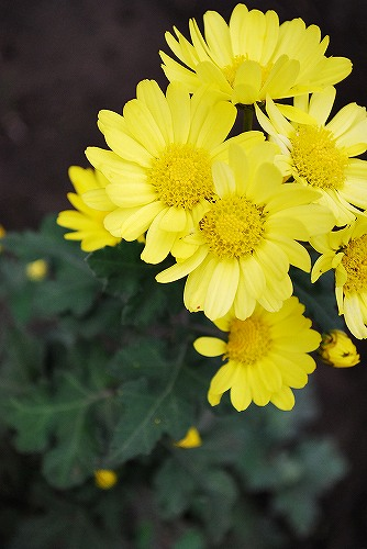 Florists chrysanthemuDSC_0049