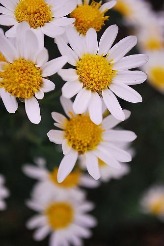 Florists chrysanthemumDSC_0037