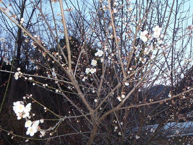 梅三分咲きぐらい120325