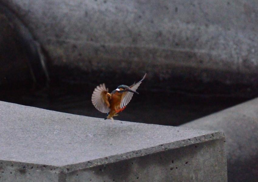 カワセミ 2011 06 23