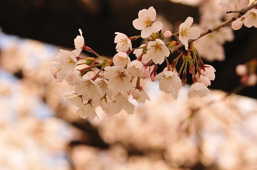 SAKURA 2011 04 24 -1