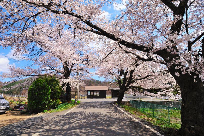 SAKURA 2011 04 24 -2