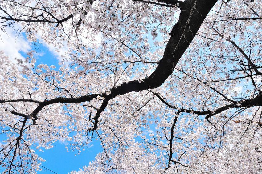 SAKURA 2011 04 24 -3