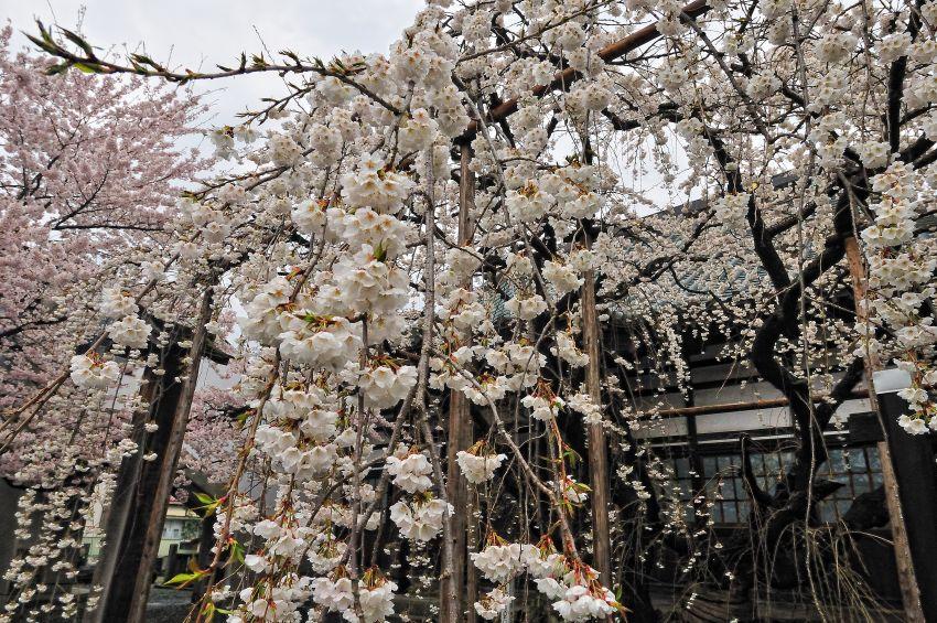 龍谷寺の枝垂桜   2011 5 1