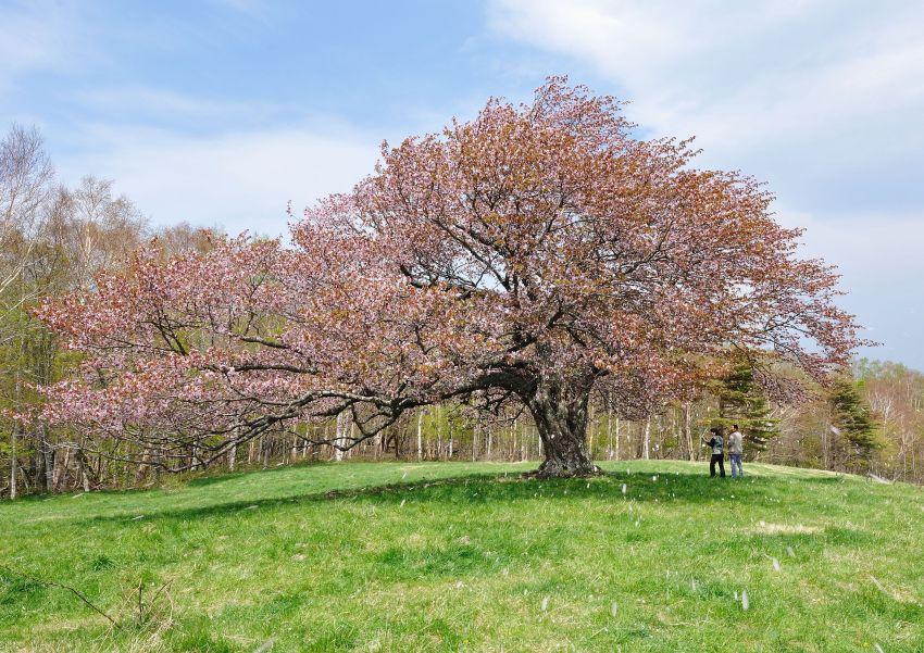 2011 05 19 亀ヶ森 桜