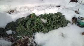 雪にも負けないちぢみ菜 すごい!