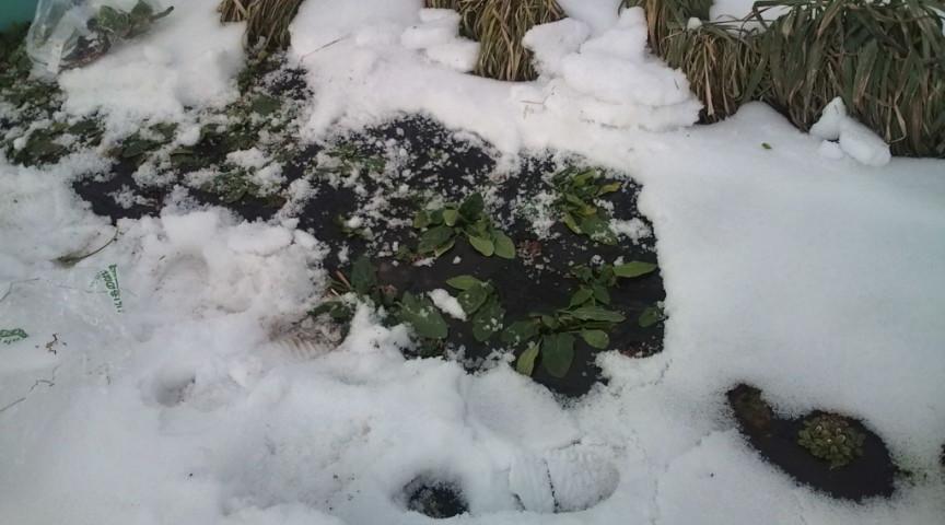 寒そうなほうれん草、この標高だと厳しいかも