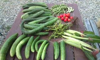8gatsu収穫