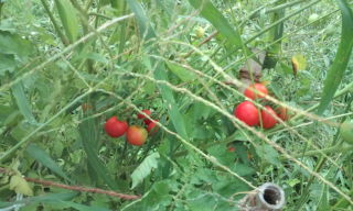 中玉トマト ブラジル産 固定種