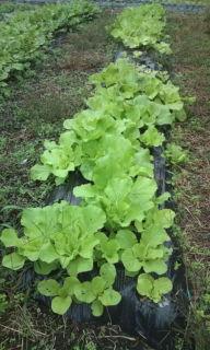 20101015白菜