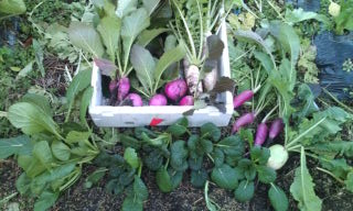 収穫 冬野菜 明日送ります!