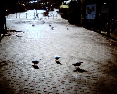 ハト 遊ぶ