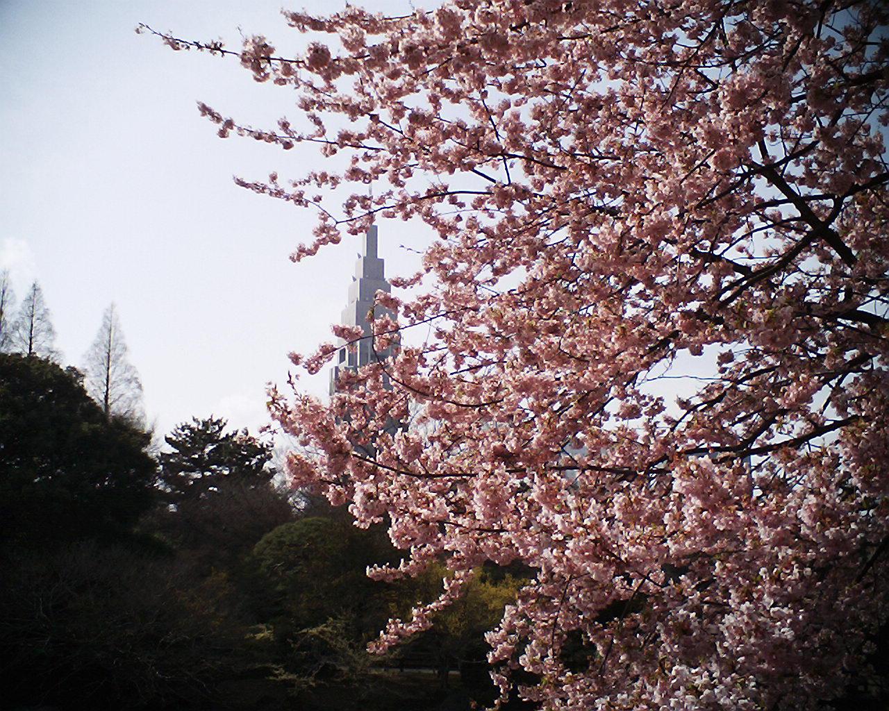 R2で大寒桜とドコモタワー