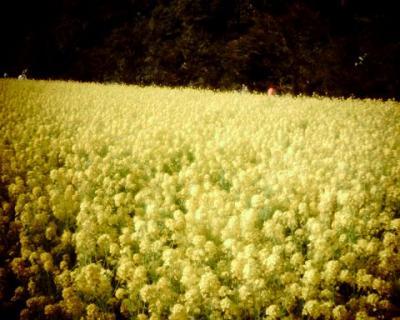 菜の花畑:Entry