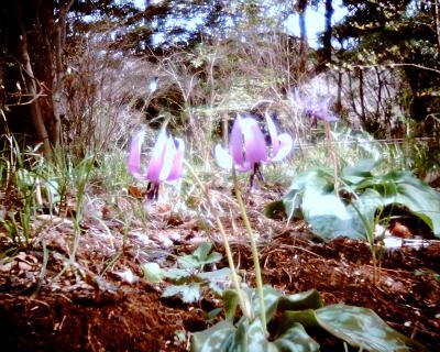 カタクリの花:Entry