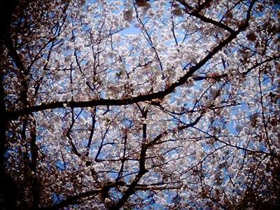 桜の下で:Entry