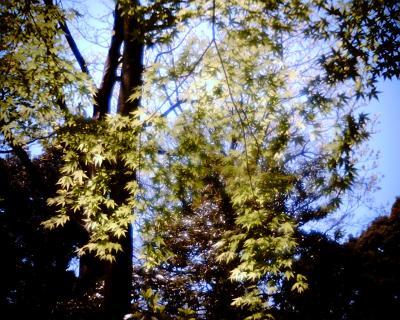 日に透ける葉:Entry