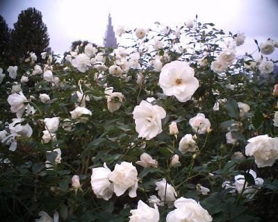 白バラと:R2