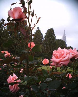 ピンクの薔薇と:R2